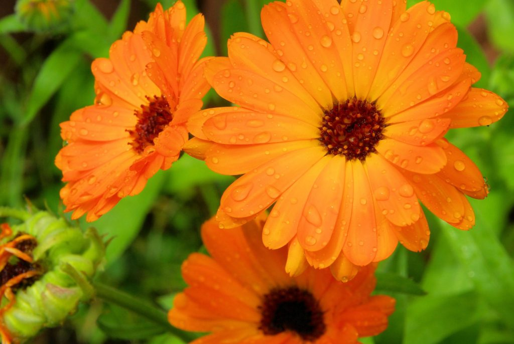 Calendula Oil Uses And Benefits Beneficial Oil For Skin