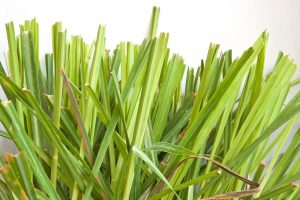 Citronella Essential Oil Uses and Benefits