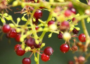Red Spikenard Essential Oil Uses and Benefits