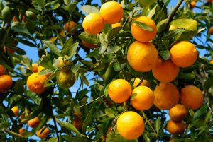 Tangerine Essential Oil Uses and Benefits