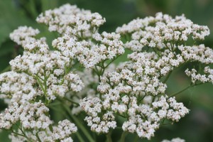 valerian essential oil uses and benefits