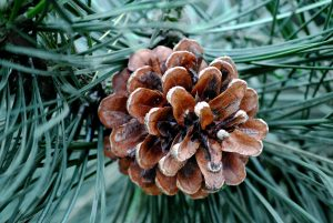 Fir Needle Essential Oil: (Abies balsamea) Fir Needle Essential Oil Uses and Benefits