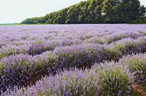 Bulgarian Lavender, Organic Essential Oil Uses and Benefits
