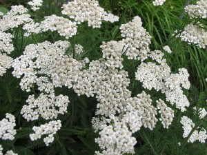 yarrow essential oil uses and benefits