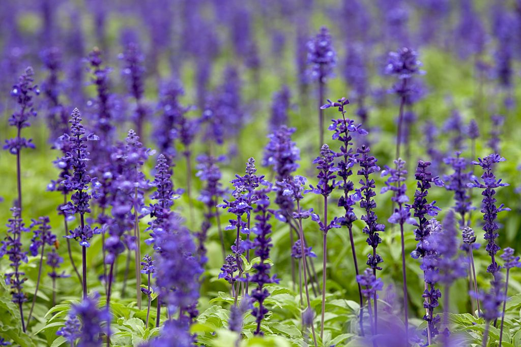 clary sage essential oil uses and benefits