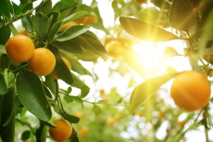 Orange, Sweet Essential Oil Uses and Benefits