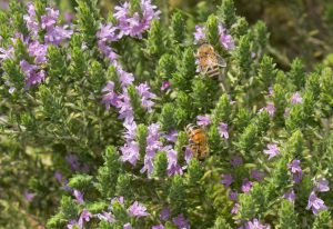 Thyme Essential Oil Uses and Benefits - Red CT Thymol