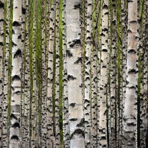 Sweet Birch Essential Oil Uses and Benefits