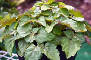 Patchouli, Dark Essential Oil Uses and Benefits