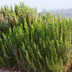 rosemary hydrosol spray