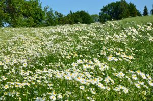 Chamomile, German (Blue) Essential Oil Uses and Benefits