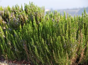 Rosemary Essential Oil Uses and Benefits - Verbenon CT 1,8 Cineole