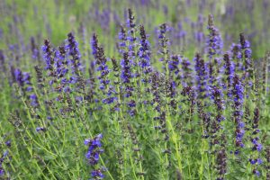 Hyssop Essential Oil Uses and Benefits